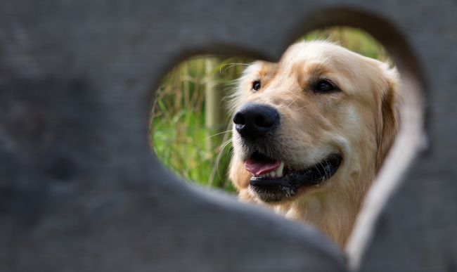 Golden retriever viewed through heart-shaped hole