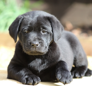Reggie black Labrador puppy