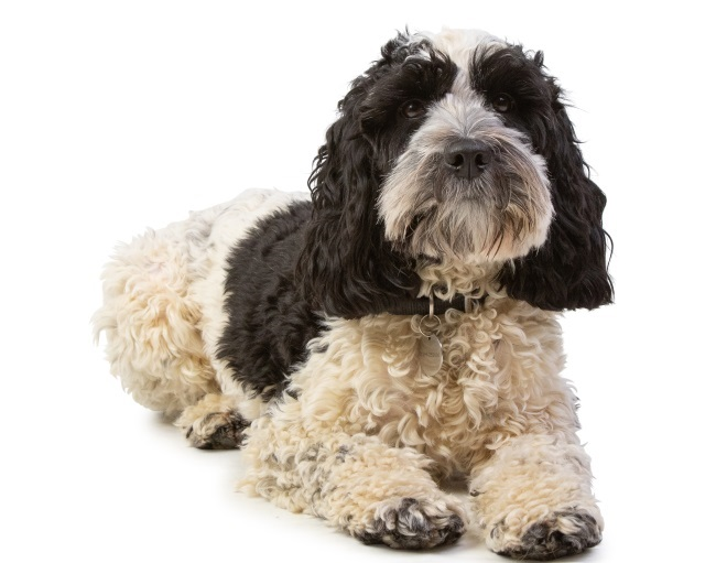 Black and white cockapoo laying down on a white background