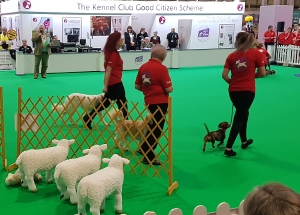 dogs with sheep at Crufts