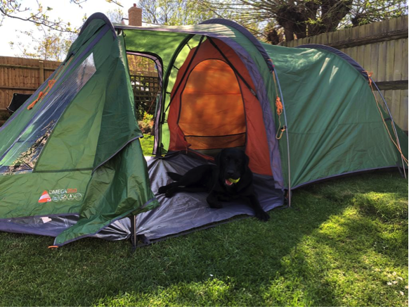 A black labrador sitting in a green and orange tent