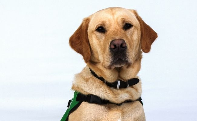 Ned is a labrador goldren retriever cross. He is sitting against a white background looking at the camera