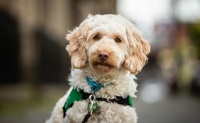 Quill the community dog is a cockapoo wearing a green Dogs for Good jacket and looking at the camera