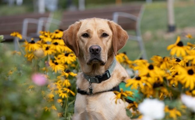 Lexi is a labrador goldren retriever cross. She is wearing a green Dogs for Good jacket sitting amongst yellow flowers.