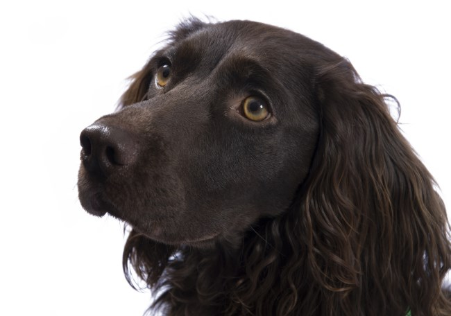 Are Cocker Spaniels Good Dogs
