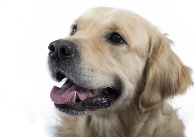 Breeding a golden retriever