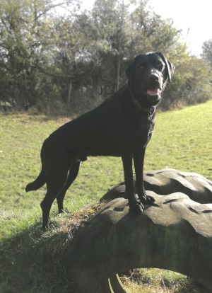 Black Labrador Rory standing in a field