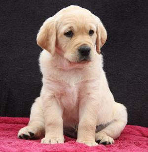 Breed Focus Labrador Cross Golden Retriever Dogs For Good