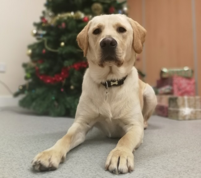Dog in training yellow Labrador Zeus laying in front of Christmas tree