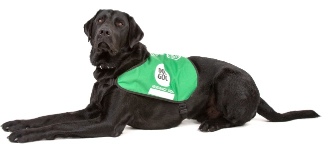 Black labrador Rory laying down wearing assistancr dog jacket